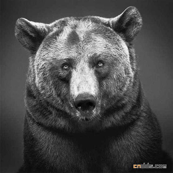 逼真如照片的动物铅笔画作