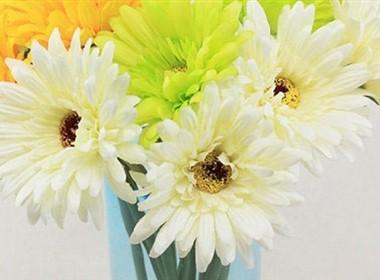 室内装饰花卉图片大全之非洲菊