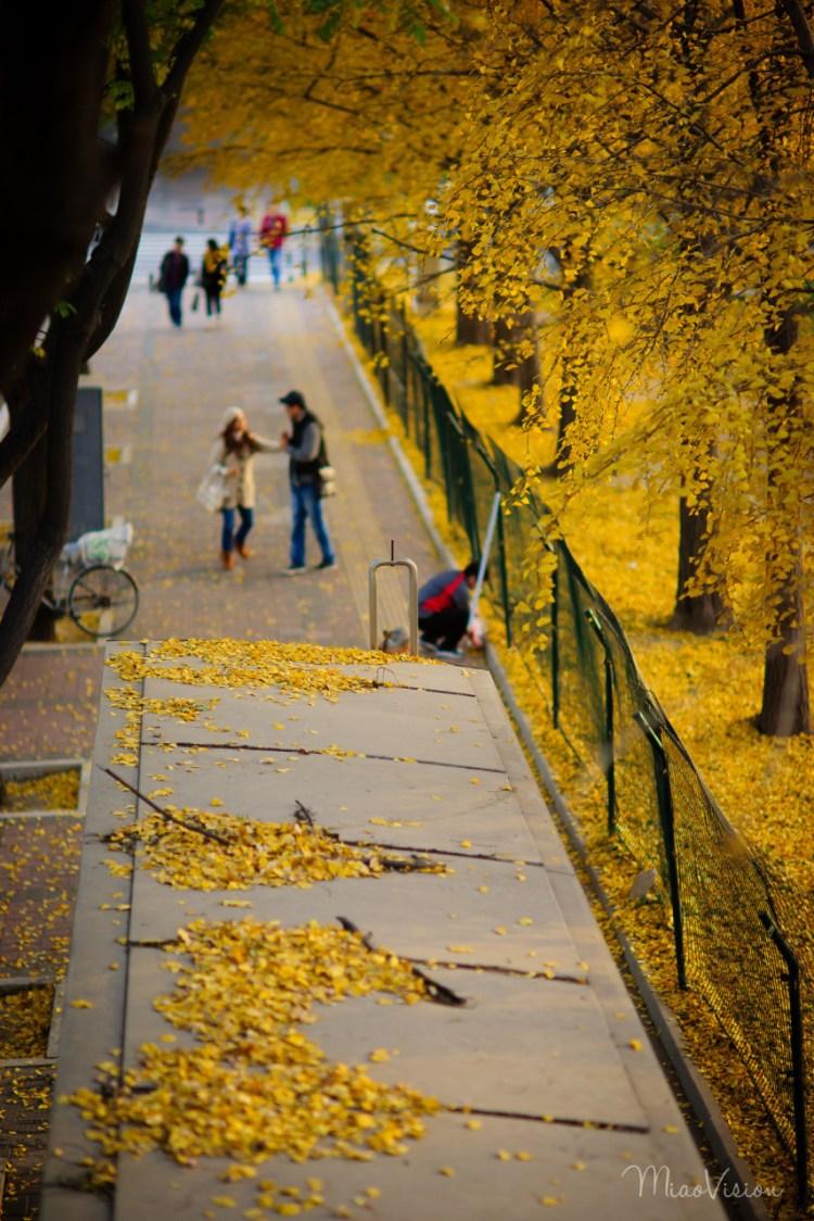 深秋的使馆区,满眼金黄