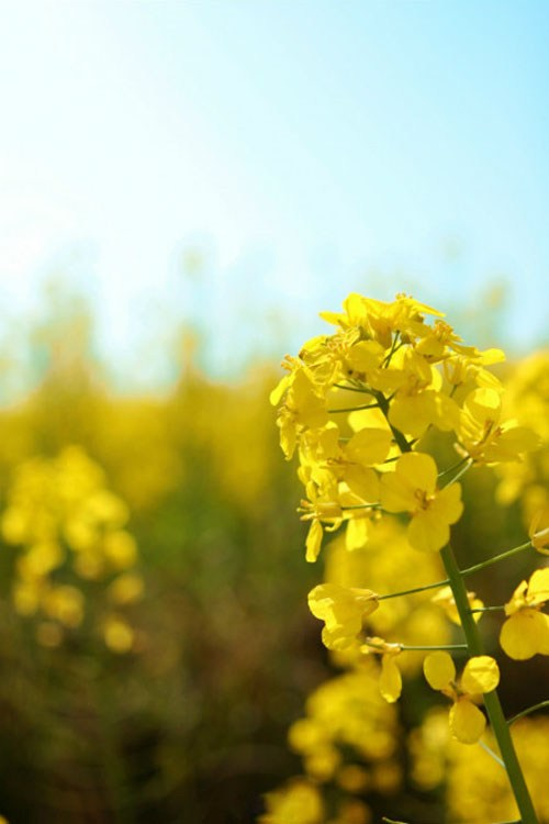 唯美视觉的中国油菜花风景摄影