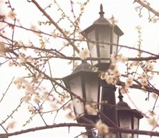 樱花漫天飞舞唯美摄影欣赏