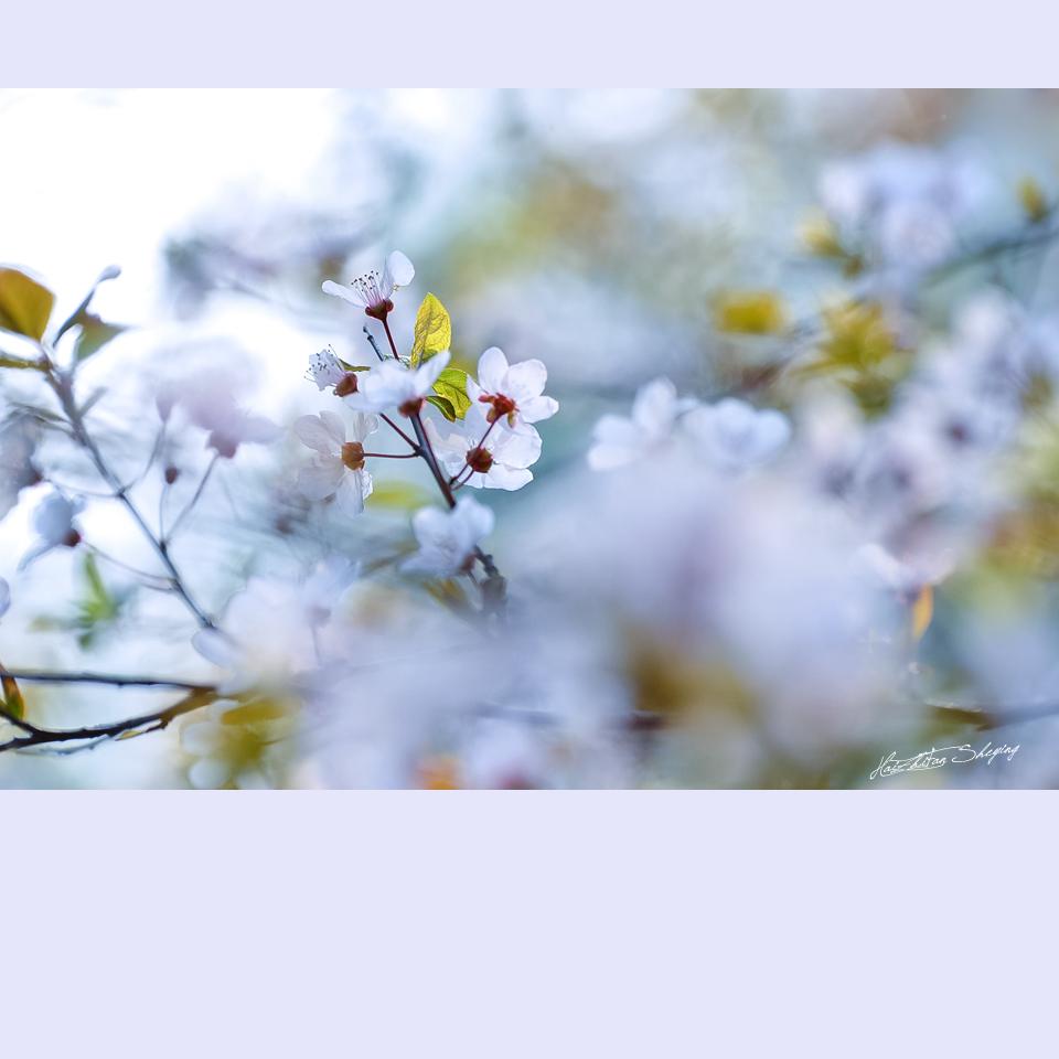 春日李花辑