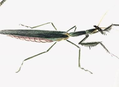草虫-螳螂