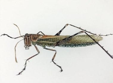 草虫-蝗虫