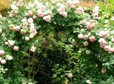 庭院设计|令人憧憬的蔷薇庭园