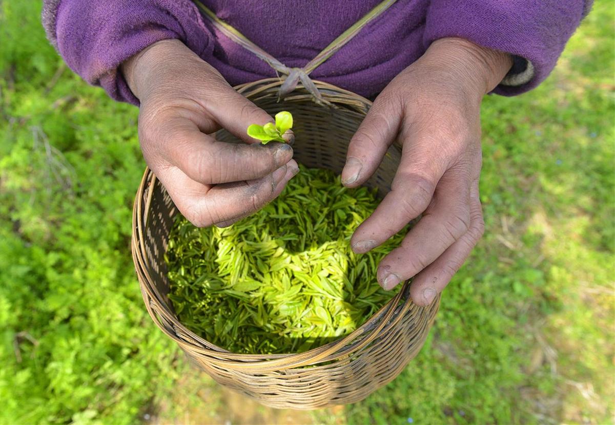 来自世界硒都的天然好茶——小堂吉叶