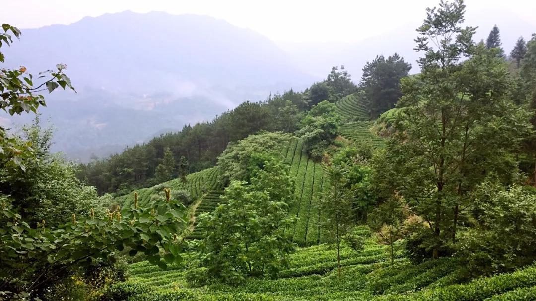 茶叶包装设计,来自西北深山的玉叶-厚启设计原创